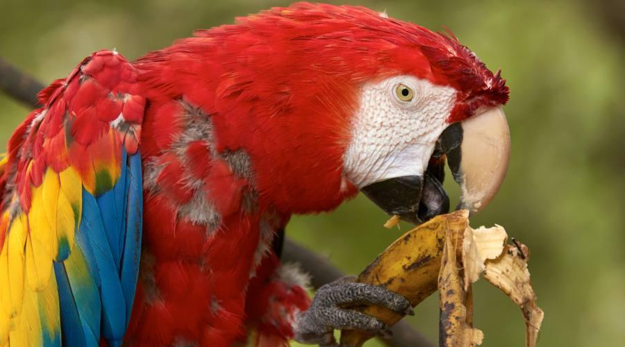 pappagallo in costa rica